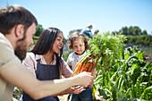Family harvesting carrots in sunny vegetable garden