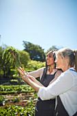 Smiling women harvesting carrots in sunny vegetable garden