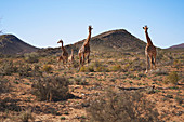 Giraffes in sunny remote grassland