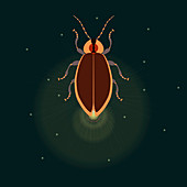 Firefly with closed wings, illustration