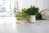 Herbs and alfalfa on kitchen counter