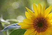 Blütenmakro einer Sonnenblume