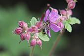 Biene an Blüte vom Storchschnabel 'Cambridge'