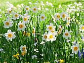 Blumenwiese im Frühling mit Narzissen 'Flower Record' 'Jetfire', Wiesenschaumkraut und Traubenhyazinthen
