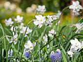 Blumenwiese im Frühling mit Mini-Narzisse 'Xit' und Traubenhyazinthen 'Ocean Magic'