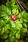Rosehip on the plant