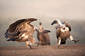 White-backed vultures interacting