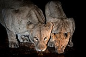 Lioness and cub drinking at night
