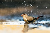 Jameson's Firefinch bathing