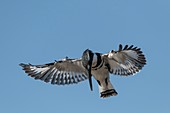 Pied Kingfisher hovering whilst hunting