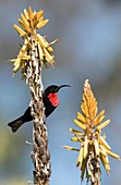 Male Scarlet chested sunbird on aloe