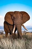 Male African bush elephant