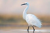Little egret in a lagoon at dusk