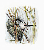 Long tailed tit beside nest, illustration