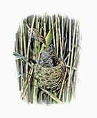 Reed warbler feeding cuckoo chick in nest, illustration