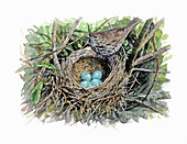 Song thrush with eggs in nest, illustration