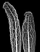 Kale (Brassica oleracea var. palmifolia), X-ray