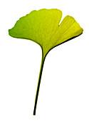 Ginkgo biloba leaf X-ray