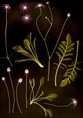Scabious (Scabiosa sp.) plant, X-ray