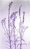 Purple toadflax (Linaria purpurea) plant, X-ray