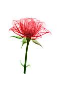 Rose (Rosa sp.) flower, X-ray