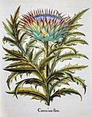 Cardoon (Cynara cardunculus), 1613 illustration
