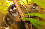Family of night monkeys