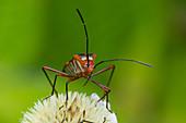 Pentatomomorpha bugs