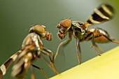 Dancing fruit flies
