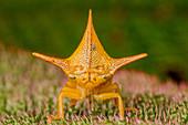 Treehopper adult