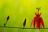 Scarlet passion flower (Passiflora coccinea)
