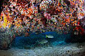Brown-spotted coral grouper