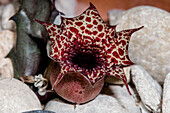 Carrion Flower (Huernia hislopii kapugua)