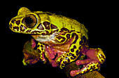 Clown Tree frog (Dendropsophus reticulatus)