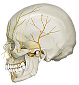 Trigeminal Nerve, Illustration