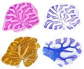 Cerebellum, Four Staining Techniques, LM