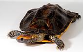 Twist-necked Turtle (Platemys platycephala melanonota)
