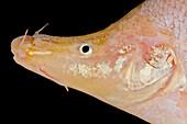 Small-eyed Golden Line Barbel (Sinocyclecheilus microphthalmus)