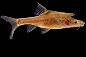 Tiled Golden-line Barbel (Sinocyclocheilus tilehornes)