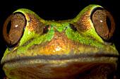 Emerald Forest Frog (Hylorina sylvatica)