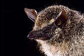 Proboscis bat, Rhynchonycteris naso
