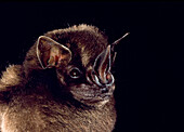 Toltec fruit-eating bat, Artibeus toltecus