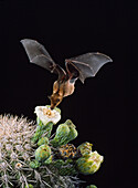 Lesser Long-nosed Bat at Saguaro Flower