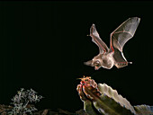 California leaf-nosed bat (Macrotus californicus)