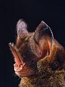 Striped hairy-nosed bat (Mimon crenulatum)