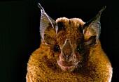 Niceforo's big-eared Bat (Trinycteris nicefori)