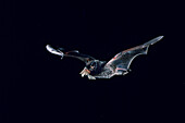 Silver-haired Bat Catches Moth
