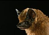 Greater dog-like bat, Peropteryx kappleri