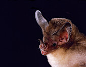 White-bellied big-eared bat, Micronycteris minuta
