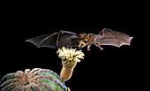Lesser Long-nosed Bat at Cardon Flower